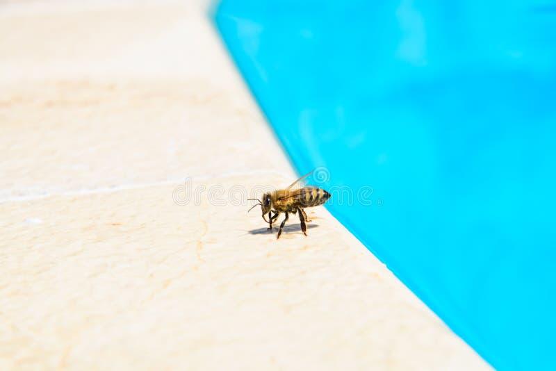 Die Biene trinkt Wasser im Sommer lizenzfreies stockfoto