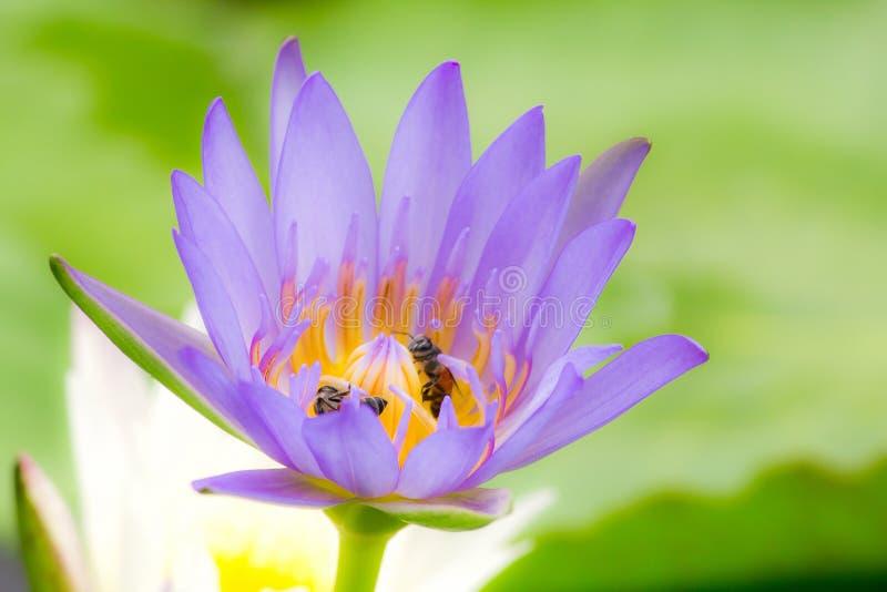 Die Bienen sind in der purpurroten Lotosblüte, lizenzfreie stockfotos