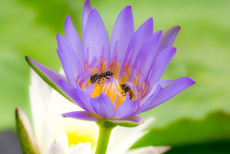 Die Bienen sind in der purpurroten Lotosblüte, stockbild