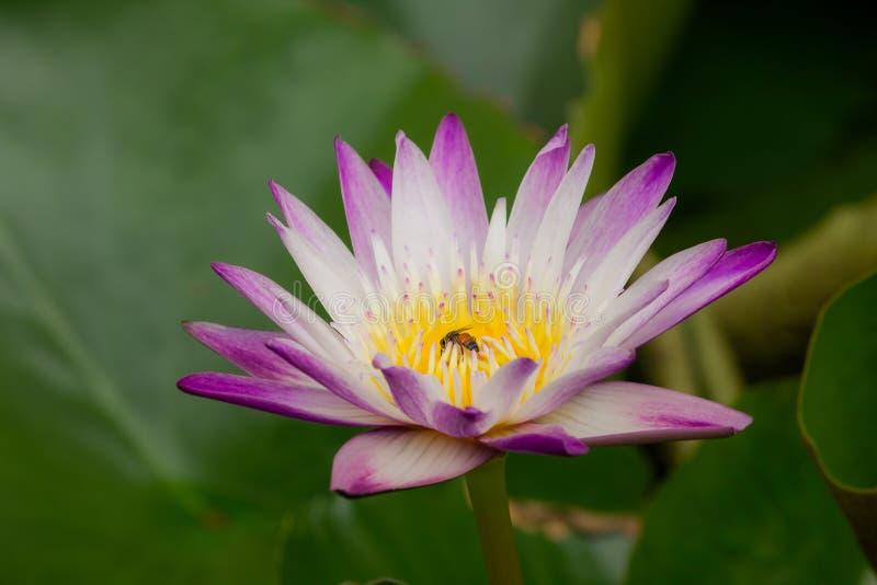 Die Bienen sind in der purpurroten Lotosblüte, lizenzfreies stockfoto