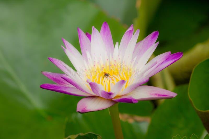 Die Bienen sind in der purpurroten Lotosblüte, stockfotografie