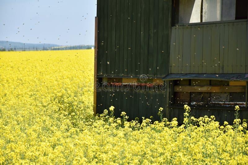 Die Bienenhausbiene in einem Rapsfeld lizenzfreie stockbilder