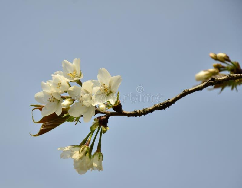 Die Birnenblüte in voller Blüte im Frühjahr an botanischem Garten Suzhou, China Baitang stockbilder