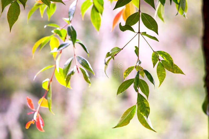 Die Bl?tter einer Niederlassung des Kirschbaums lizenzfreies stockbild
