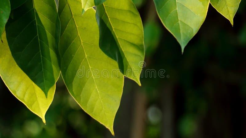 Die Blätter und das Sonnenlicht am Morgen lizenzfreies stockfoto