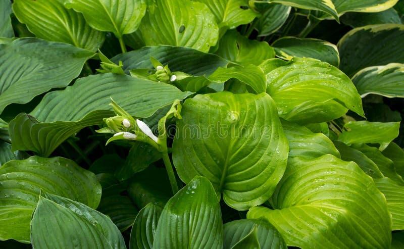 Die Blätter Und Die Blumen Von Hosta Stockbild - Bild von ...