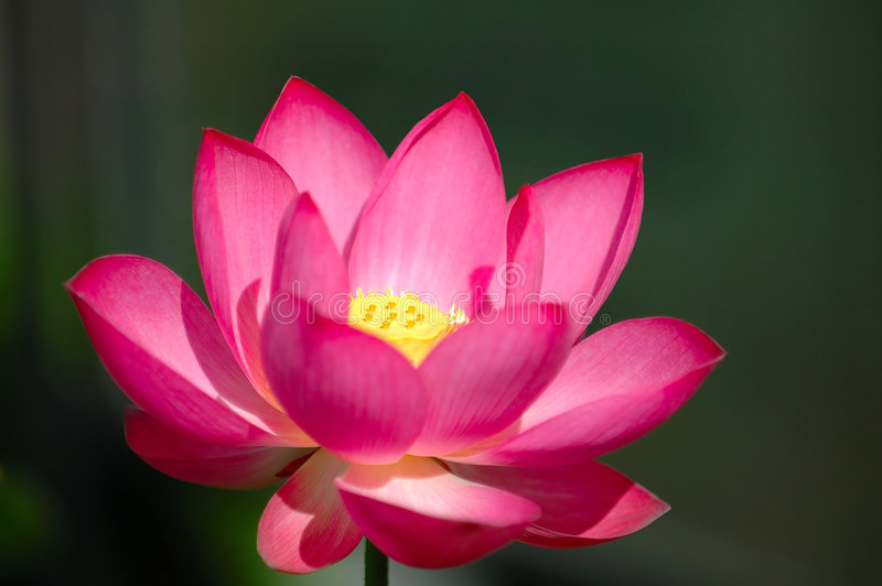 Die blühende rosafarbene Lotosblume stockfotos