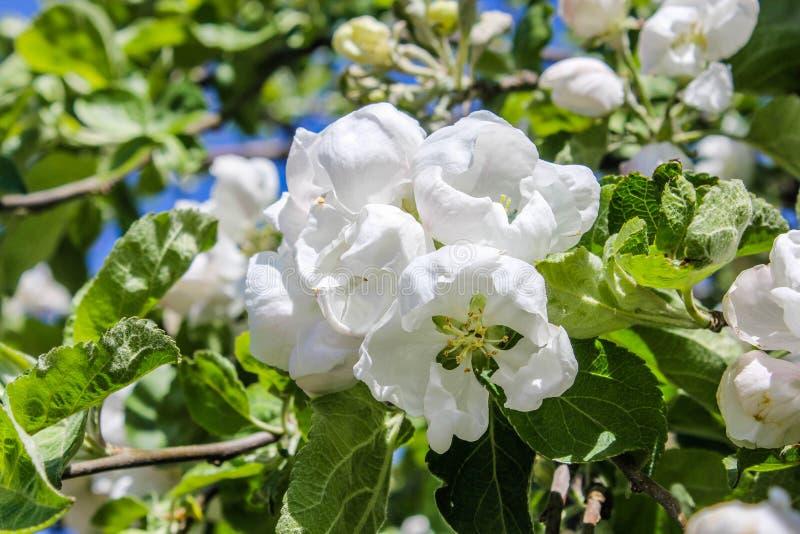 Die blühenden Applebäume lizenzfreie stockbilder