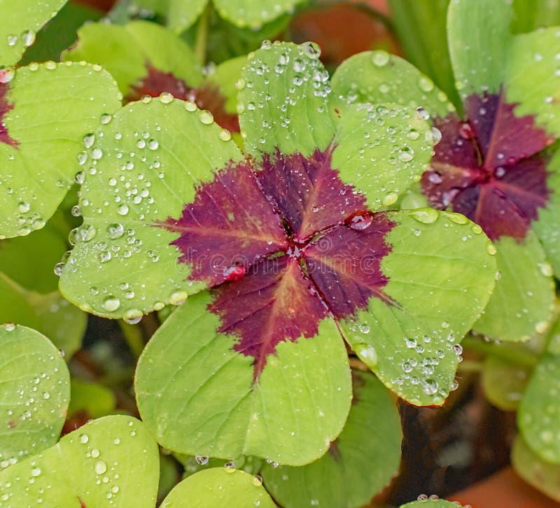 Die blühenden grünen und roten Blätter glitzern vor Regenfällen am Morgen lizenzfreies stockfoto