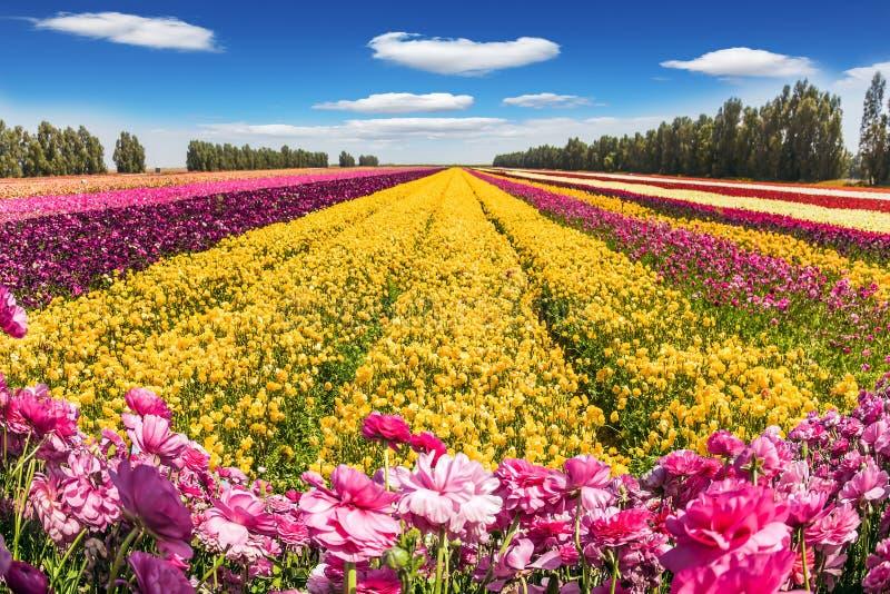 Die blühenden mehrfarbigen Butterblumeen stockfoto