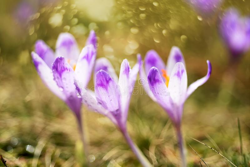 Die Blüte der ersten Frühlingsblumen des Safrans, Krokusse lizenzfreie stockbilder