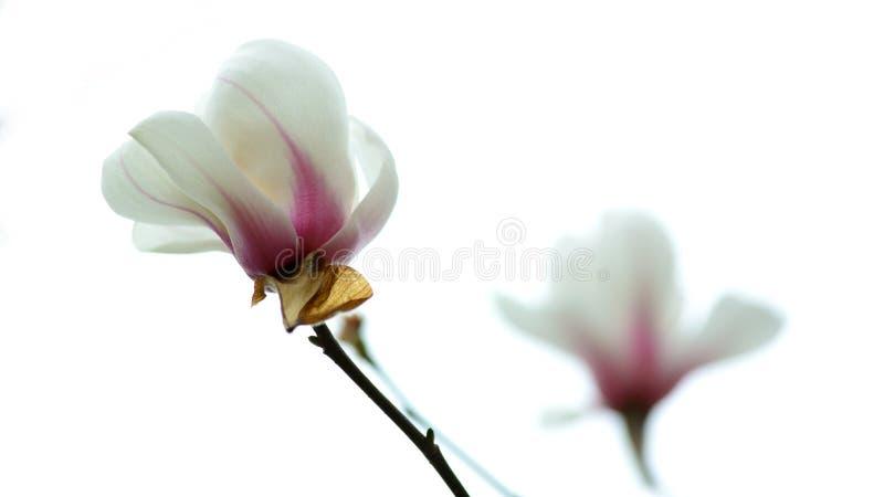 Die Blüte der Orchidee stockfoto