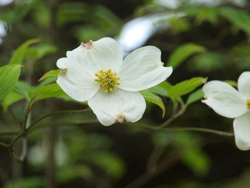 Die Blüte des Hartriegel-Baums im Frühjahr bei Ostern lizenzfreies stockfoto