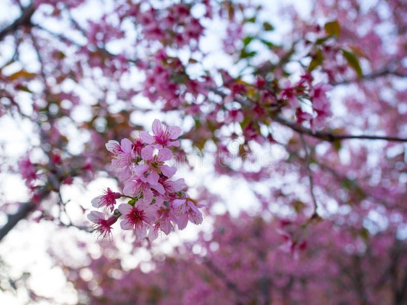 Die Blüte von rosa Blumen nannte Kirsche Wild Himalayan in Chai stockfoto