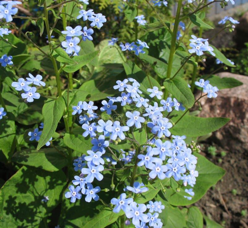 Die blauen Blumen von Brunnera lizenzfreie stockfotos