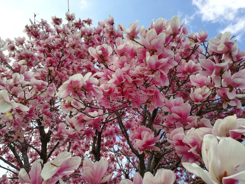 Die Blume der Magnolie im Fokus stockfotos