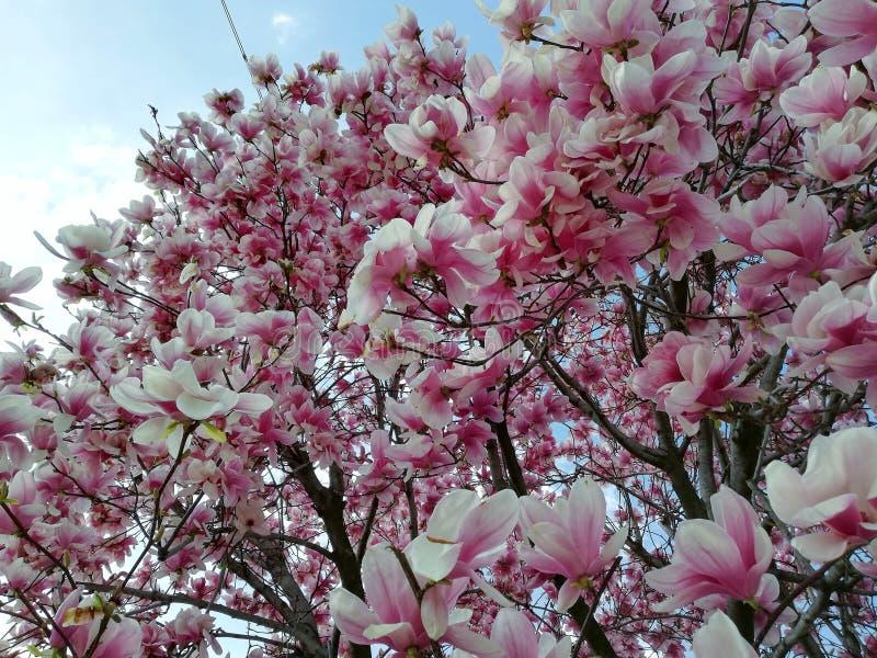 Die Blume der Magnolie im Fokus stockbilder