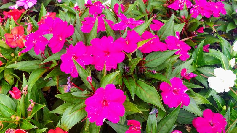 Die Blume des Lebens Rosa starkes lizenzfreies stockbild