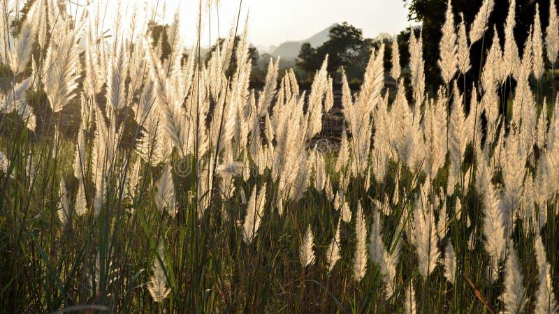 Die Blume des Pfahlrohrs stockfotos
