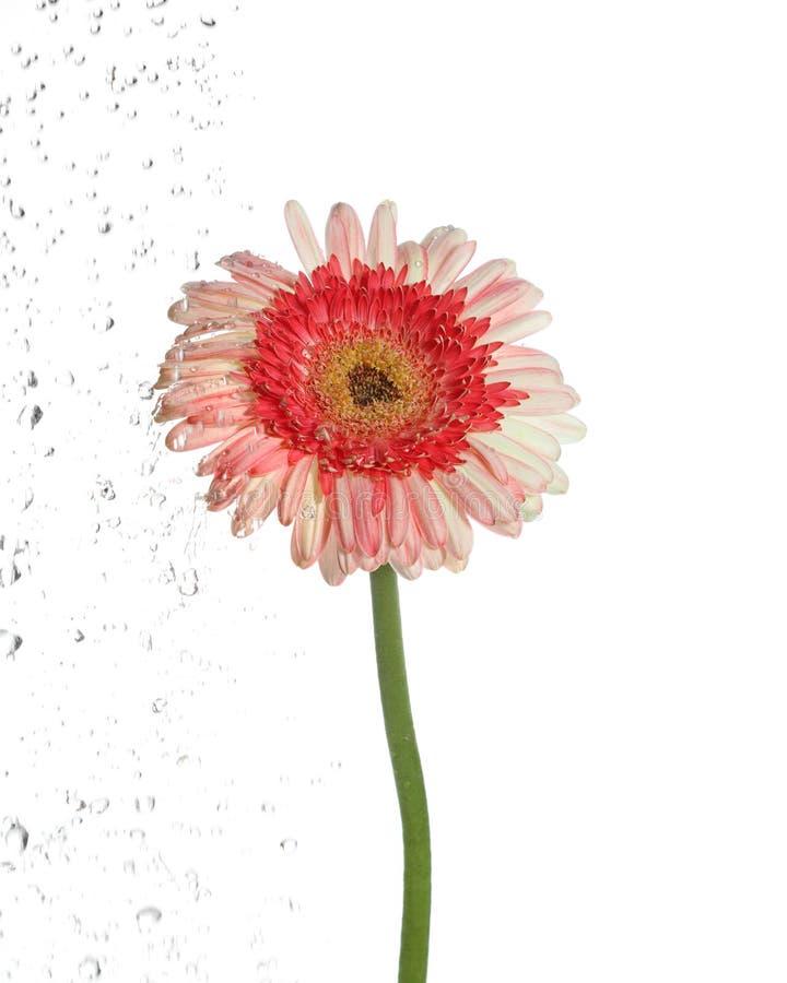 Die Blume, die ist, bewässern lokalisiert stockbilder