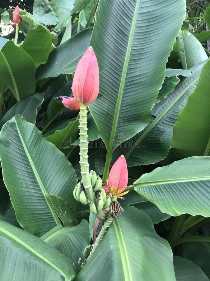 Die Blume und die Blätter der Banane stockfotografie