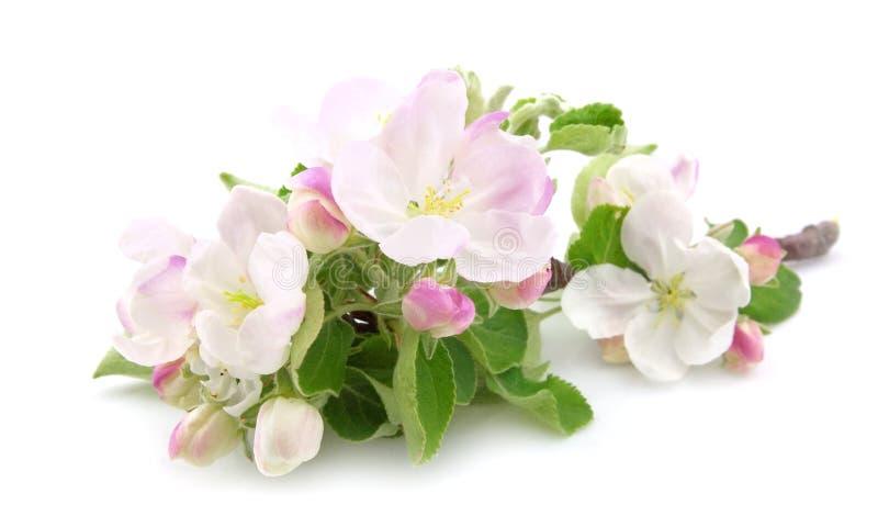 Die Blumen des Apfelbaums lizenzfreies stockbild