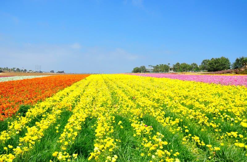 Die Blumen-Felder von Carlsbad lizenzfreie stockfotos