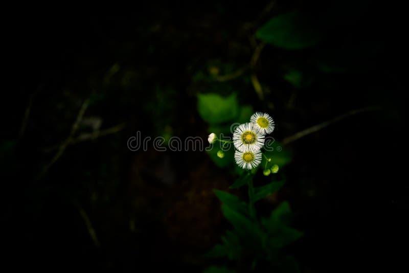 Die Blumensprache des Gänseblümchens ist naiv, ruhig, lizenzfreie stockfotografie