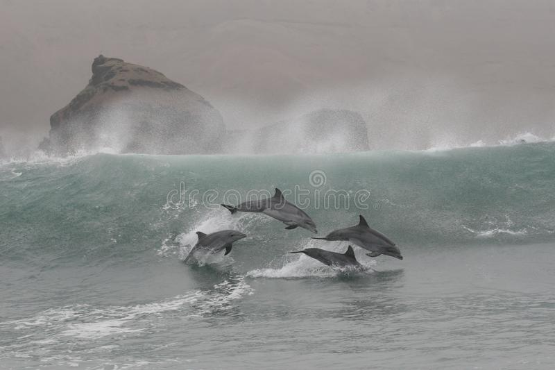 Die Bottlenosedelphine, die in die Wellen von Chilca springen, setzen, südlich von Lima, Peru auf den Strand stockfotos
