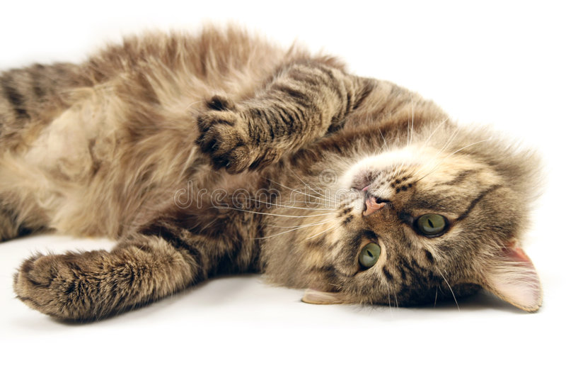 Die braune Katze stockfotos