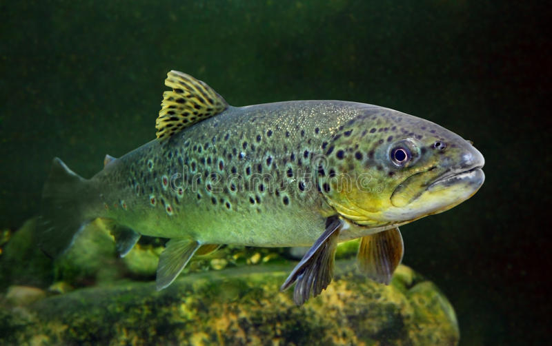 Die brown-Forelle (Salmo Trutta). lizenzfreie stockfotos
