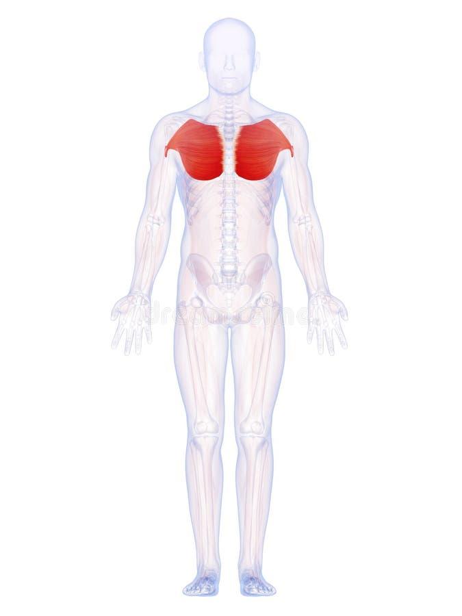 Die Brustmuskeln stock abbildung. Illustration von medizinisch ...