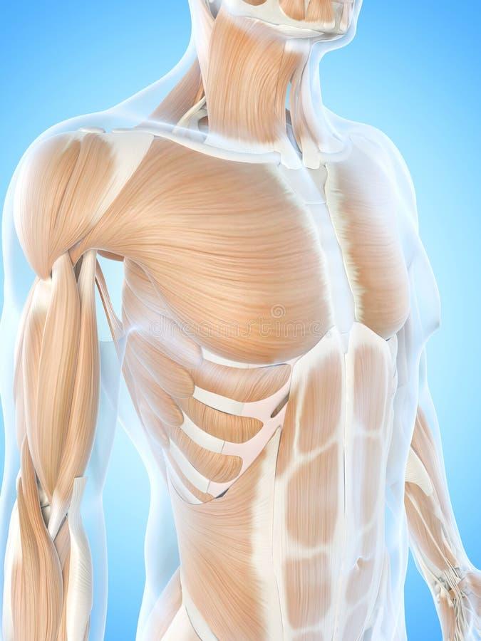 Die Brustmuskeln stock abbildung. Illustration von karosserie - 39791389