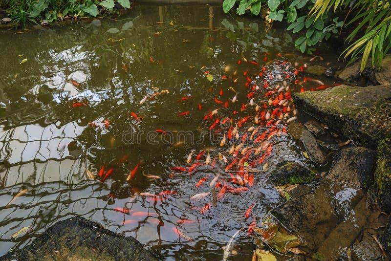 Die bunten Fische in einem künstlichen Reservoir stockfotos