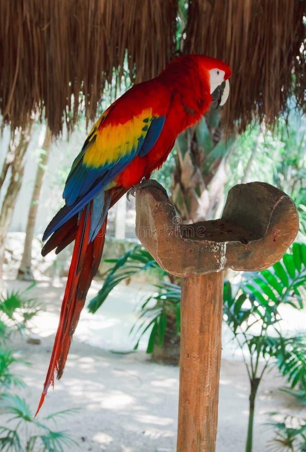 Die bunten Papageienkeilschwanzsittiche in Xcaret parken Mexiko stockfotos
