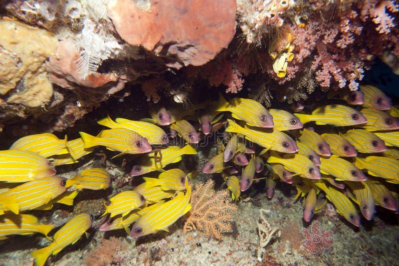 Die bunten Unterwasserreiche von Raja Ampat stockfotos