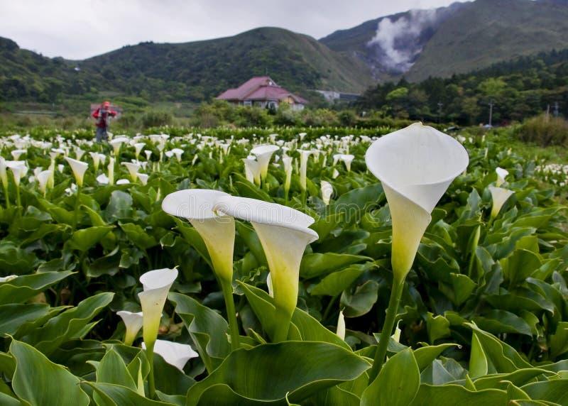 Die Callalilie bewirtschaftet Ansicht in Taiwan Taipeh stockfoto