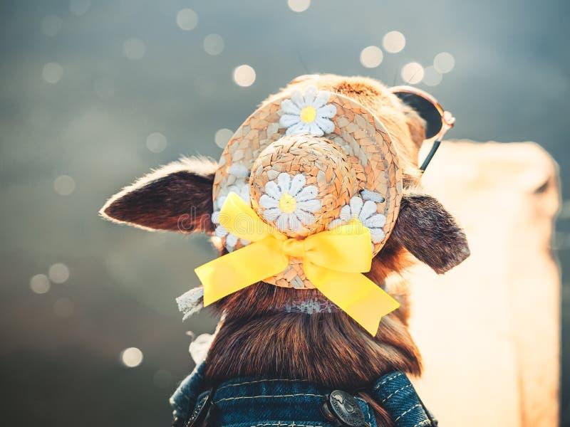 Die Chihuahua, die Sonnenbrille und Denimoverall tragen, genießen Sonne Nettes kleines Hündchen nimmt Sonnenbäder die im Freien lizenzfreie stockfotos