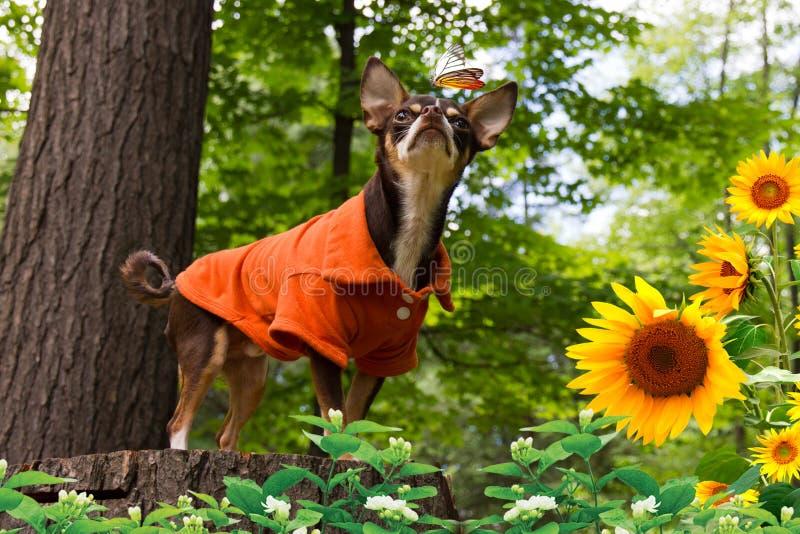 Die Chihuahua und der Schmetterling stockbilder