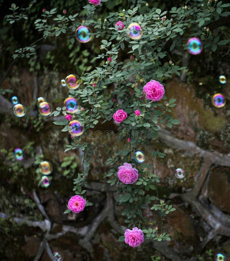 Die colorized Blasen im Rosengarten stockfoto