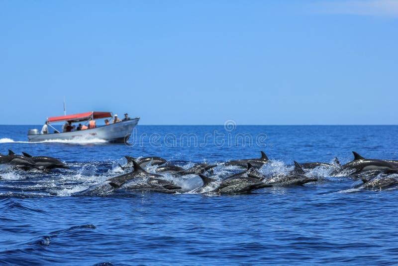 Die Delphine springend in Baja California stockfotos