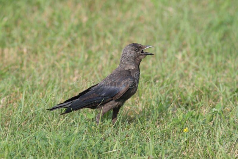 Die Dohle (Corvus monedula) stockfotos