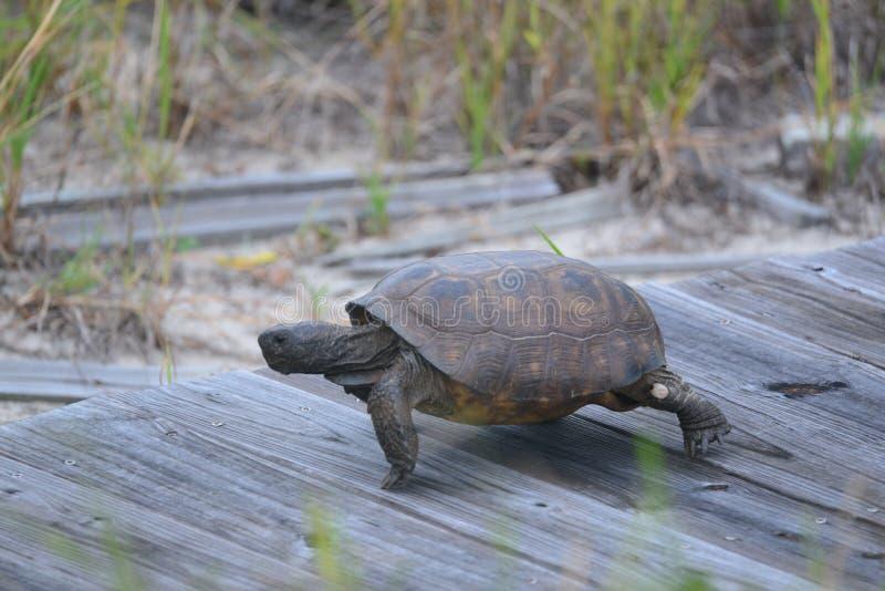 Die Dosenschildkröte beschleunigt, wenn sie eine Weise findet, die künstliche Bahn nach und von dem sandigen Strand zu nutzen lizenzfreie stockfotografie