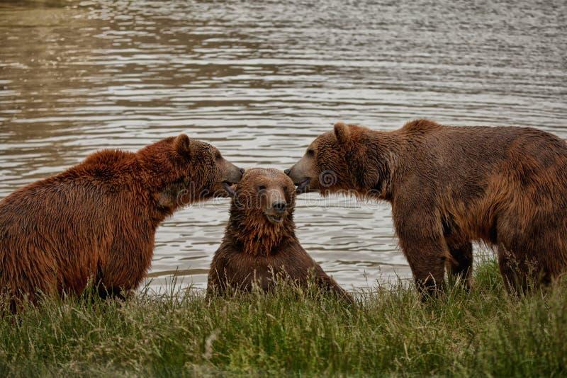 Die drei Bären, die Ohren essen oder Geheimnissen sagen lizenzfreie stockfotografie