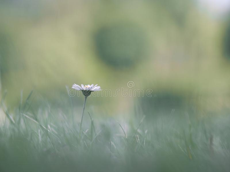 Die einzige empfindliche Blume im Gras lizenzfreie stockbilder