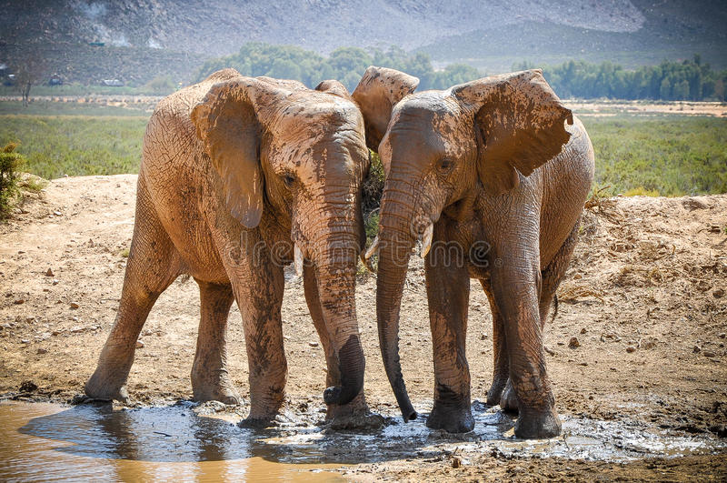 Die Elefanten spielen - Kopf-an-Kopf- lizenzfreies stockbild