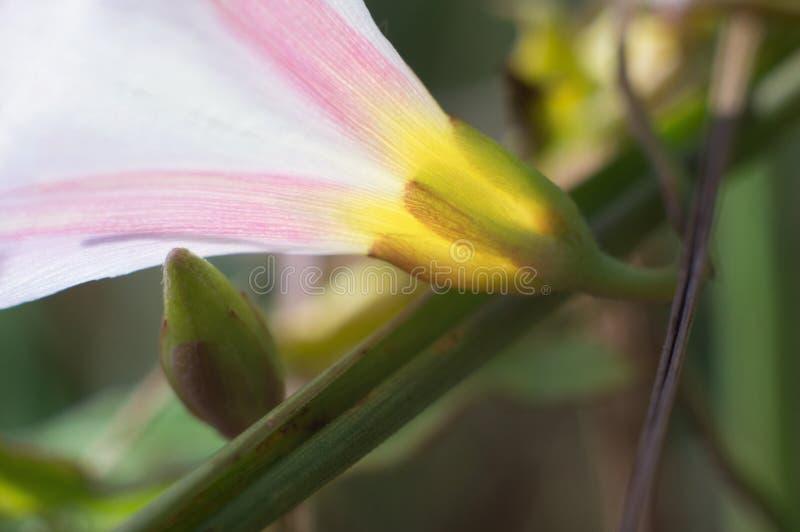 Die empfindliche Windennahaufnahme erblassen - Rosa Weiße schöne Blume beleuchtet durch Sonnenlicht lizenzfreie stockfotos