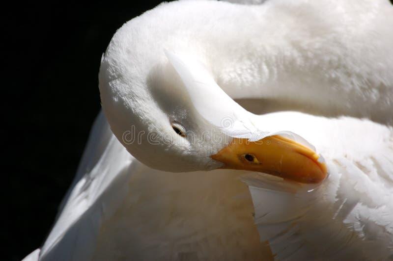 Download Die Ente stockbild. Bild von ente, ruhe, serene, schwan - 850145
