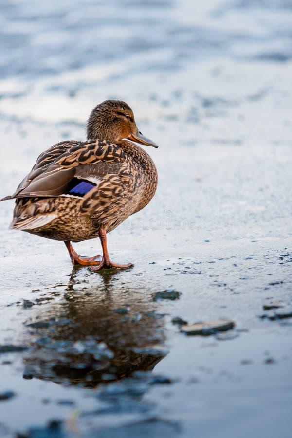 Die Ente geht entlang das schmelzende Eis des Teichs im Park im Frühjahr bei Sonnenuntergang im April stockfoto