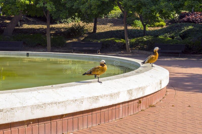 Die Enten lizenzfreies stockfoto